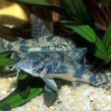 5 Reasons Why a Cory Catfish Is a Good Addition To Your ...