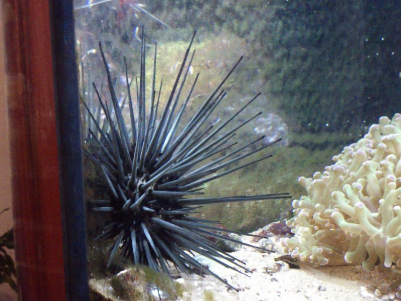 Long spine black urchin