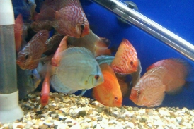 discus fish stock