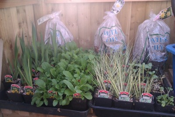 pond plants for sale